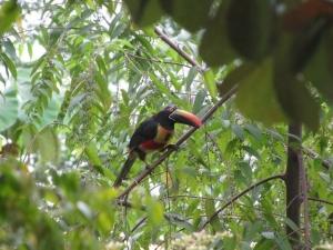 toucan-in-casa2aguilas-tree